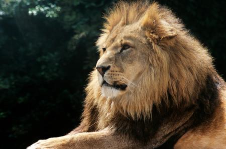 Lion LANG_EVOIMAGES
