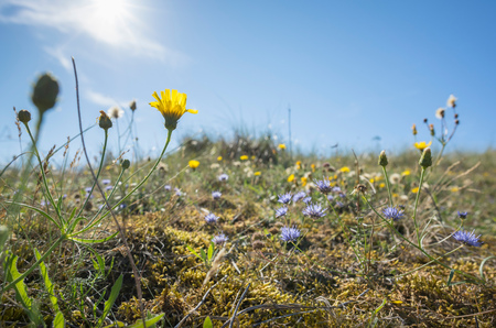 Flowers growing in the dunes on the island of Vlieland, East Vlieland, Friesland, Netherlands
