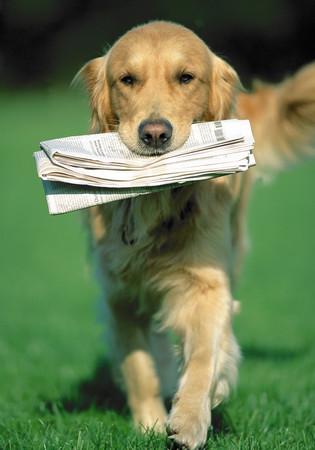 Golden retriever carrying a newspaper