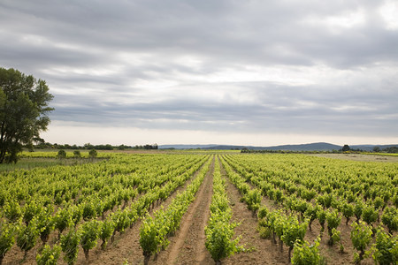 Vineyard and a cloudy sky