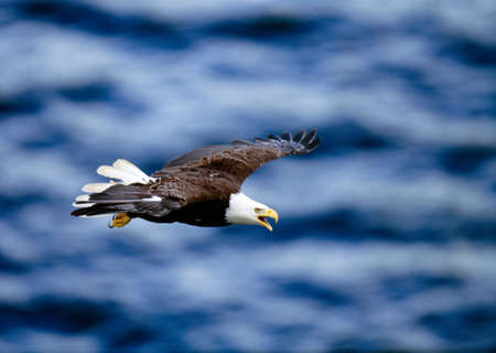 Bald eagle in flight over water, Alaska, USA LANG_EVOIMAGES