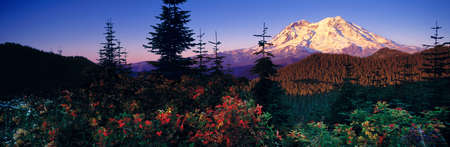 The peak of Mt. Rainier as seen from the west, with vivid mountain ash in the foreground