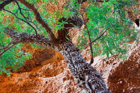 Gum tree, Purnululu National Park, Australia