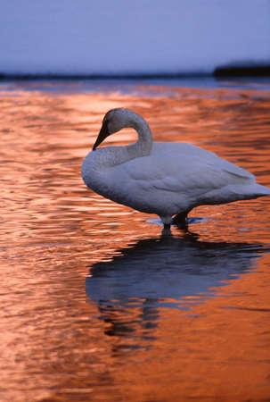Trumpeter swan, Jackson Hole, Wyoming LANG_EVOIMAGES