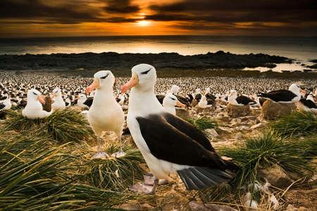 Black-browed albatross, Falkland Islands