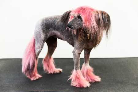 Animal portrait of groomed dog with dyed shaved fur, looking away LANG_EVOIMAGES