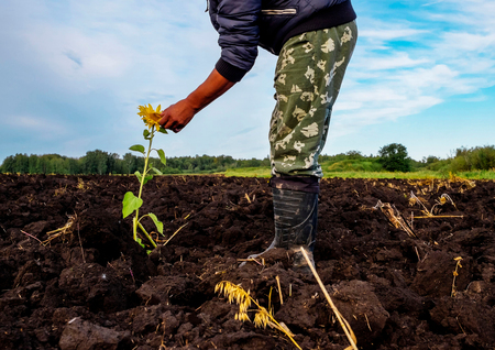 Man examining sunflower in cultivated soil, low section, Ural, Sverdlovsk, Russia, Europe