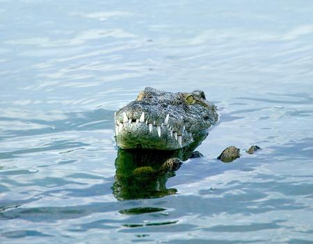 Head of crocodile in wildlife park lagoon, Djerba, Tunisia