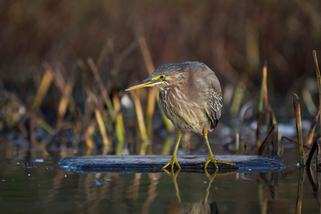 Green Heron (Butorides virescens), close-up, Sutro Baths, San Francisco, California, United States, North America