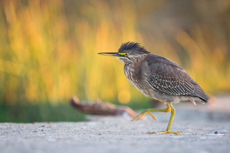 Green Heron (butorides virescens) Sutro Baths, California, United States, North America LANG_EVOIMAGES