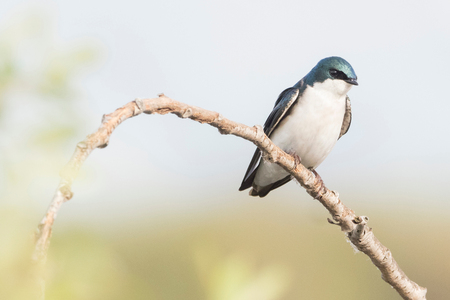 Tree Swallow (tachycineta bicolor) perched on branch, Coyote Hills Regional Park, California, United States, North America LANG_EVOIMAGES