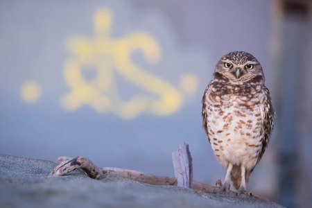 Burrowing Owl (Athene cunicularia), Ocean Beach, San Francisco, California, United States, North America LANG_EVOIMAGES
