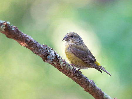 Female red Crossbill (Loxia curvirostra) perched on tree branch, Point Reyes National Seashore, California, USA