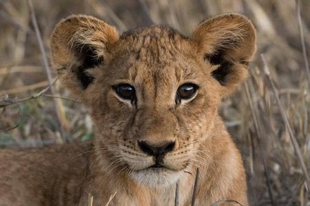 Lion cub (Panthera leo), Tsavo, Kenya, Africa LANG_EVOIMAGES