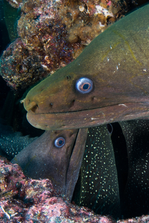 Close up of Moray Eels, Seymour, Galapagos, Ecuador, South America LANG_EVOIMAGES