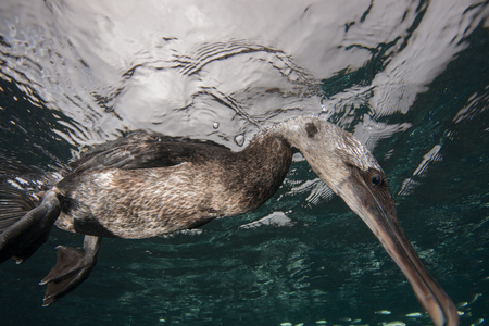 Underwater view of flightless cormorant looking for prey below surface, Seymour, Galapagos, Ecuador, South America