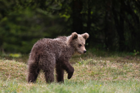 Young European brown bear (Ursus arctos), Markovec, Bohinj Commune, Slovenia, Europe