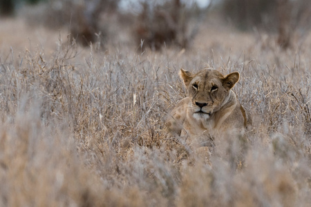 Lioness (Panthera leo), Tsavo, Kenya, Africa