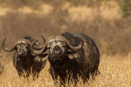 Two buffalo (Syncerus caffer), Ngorongoro, Tanzania, Africa