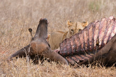 Lion (Panthera leo), feeding on buffalo, Tsavo, Kenya, Africa LANG_EVOIMAGES
