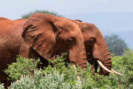 Two African elephants (Loxodonta africana) walking in  bush, Tsavo, Kenya LANG_EVOIMAGES