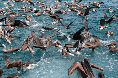 Flock of birds feeding on water surface, Seymour, Galapagos, Ecuador, South America