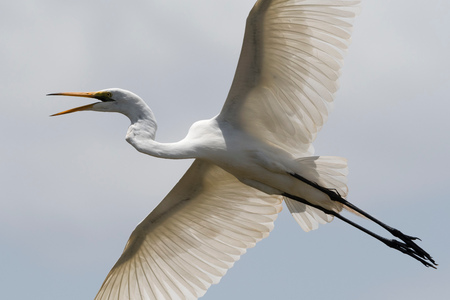 A great egret (Egretta alba), in flight, Tsavo, Kenya, Africa LANG_EVOIMAGES