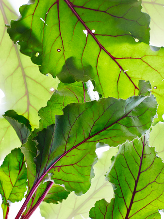 Still life of beetroot leaves, overhead view