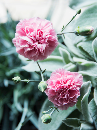 Pink carnations, close up