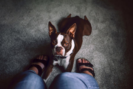Boston terrier dog lying down at womans feet, personal perspective LANG_EVOIMAGES