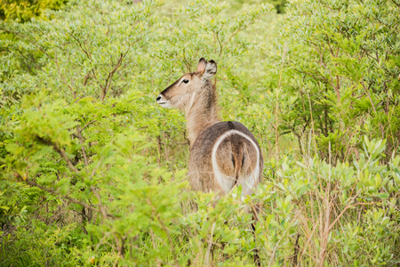 Rear view of wary antelope in Kruger National Park, South Africa