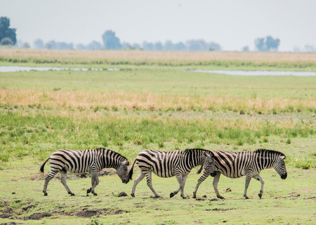 Herd of zebras, Chobe National Park, Botswana