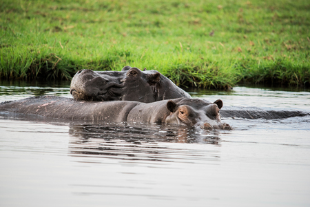 Hippopotamus wallowing in water, Chobe National Park, Botswana