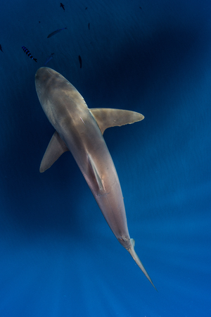 Silky shark in blue water, Revillagigedo, Tamaulipas, Mexico