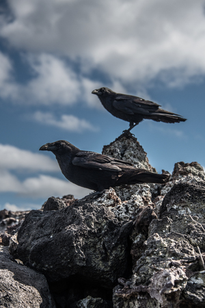 Crows on rocks, Revillagigedo, Tamaulipas, Mexico