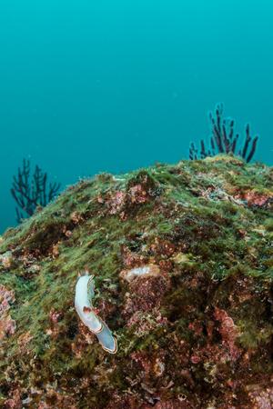 Nudibranchs mating on rocks, Puerto Vallarta, Jalisco, Mexico LANG_EVOIMAGES