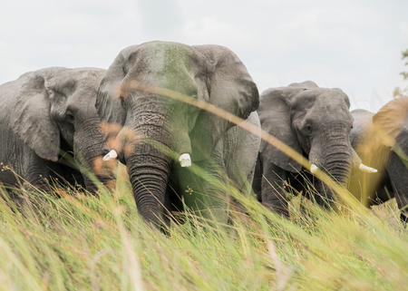 Elephants in tall grass, Okavango Delta, Botswana