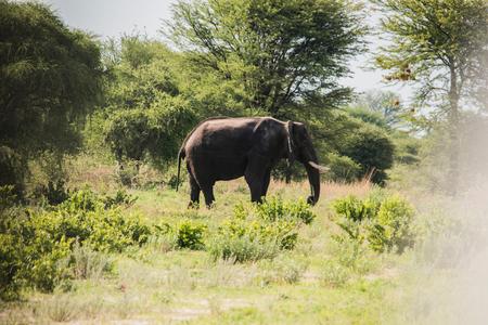 Elephant, Chobe National Park, Botswana LANG_EVOIMAGES