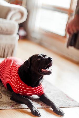 Pet dog in t-shirt on floor