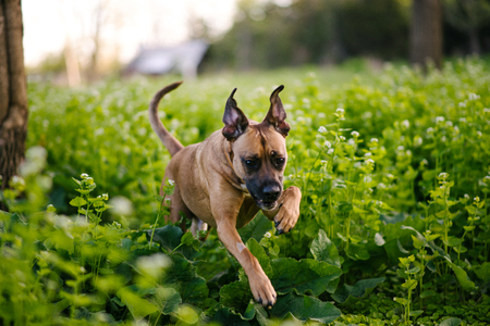 Dog running over thick green foliage LANG_EVOIMAGES