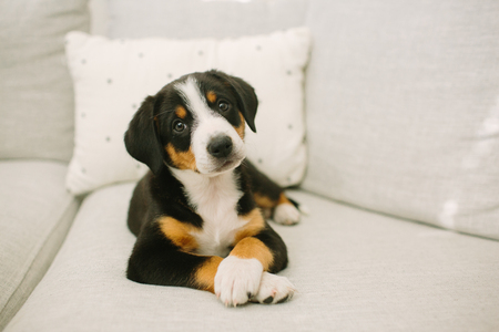 Animal portrait of puppy lying on sofa looking at camera