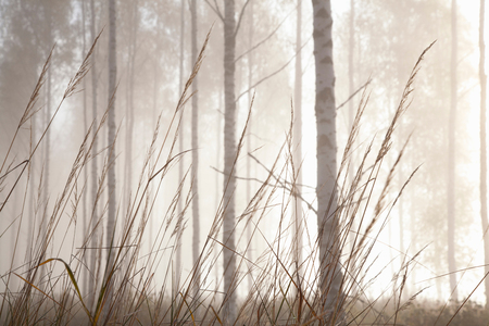 Woodland grasses and tree trunks in mist, Lohja, Southern Finland, Finland LANG_EVOIMAGES
