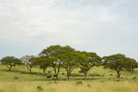 Elephants in grass landscape, Uganda LANG_EVOIMAGES