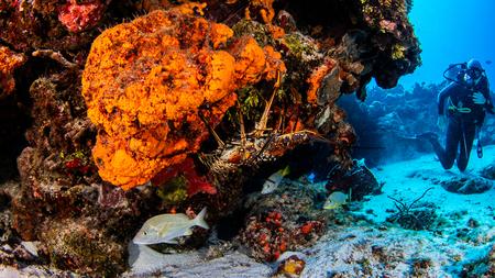 Caribbean lobster, Cozumel, Quintana Roo, Mexico