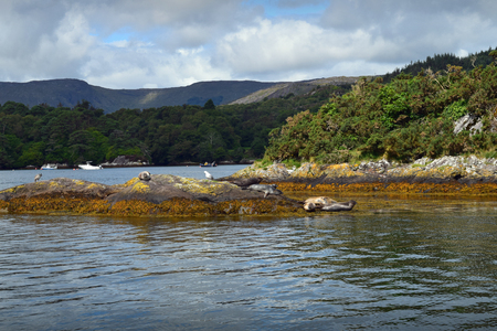 A group of seals resting on a rock in Bantry Bay, near Glengarriff, West Cork, Ireland. Stock Photo