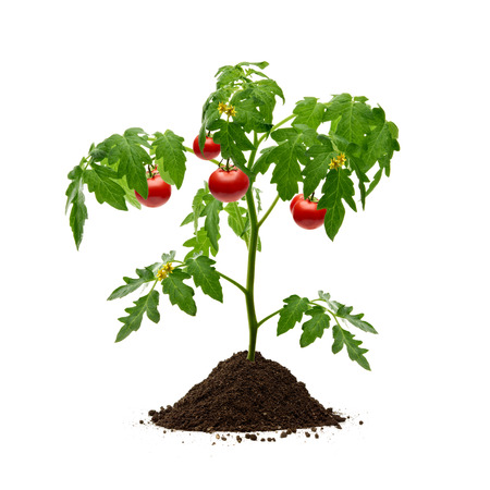 red soil: Tomato plant with soil on white background Stock Photo
