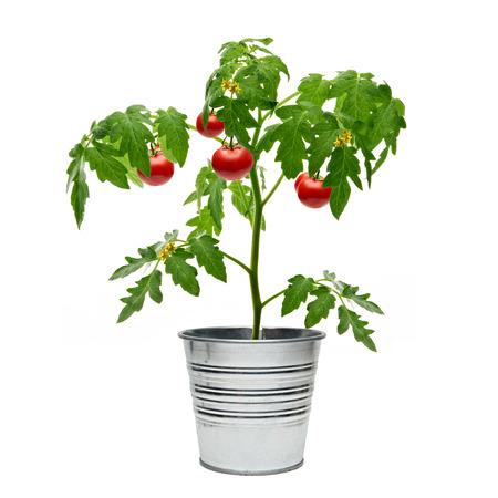 흰색 배경에 양동이에 토마토 식물