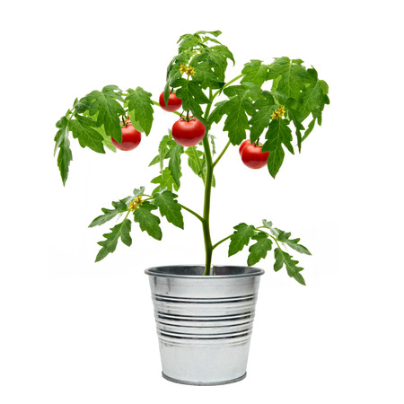 tomates: plant de tomate dans le seau sur fond blanc