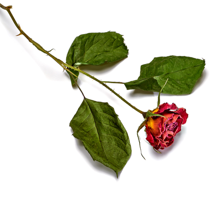 Dried rose on white background.