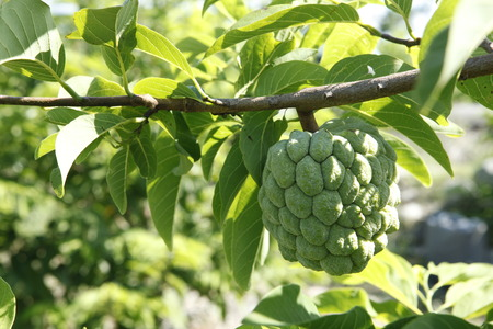 custard apple fruit: Taiwan fruits and vegetables Sugar Apple Stock Photo